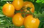 Сорт томата: Садко f1