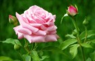 Садовая роза (Видео)