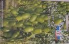 Сорт томата: Самоцвет изумрудный f1