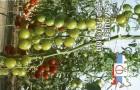 Сорт томата: Самоцвет нефритовый f1