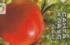 Сорт томата: Санта клаус