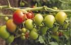 Сорт томата: Сенбернар f1