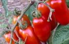 Сорт томата: Сенкара f1