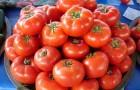 Сорт томата: Сердечный поцелуй
