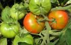 Сорт томата: Северный румянец
