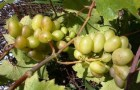 Северный виноград (Видео)