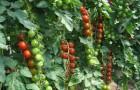 Сорт томата: Сиверец f1