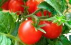 Сорт томата: Созвездие девы