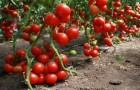 Сорт томата: Созвездие весов