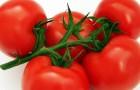 Сорт томата: Субарктик
