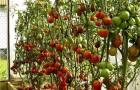 Сорт томата: Сушка f1
