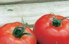 Сорт томата: Свояк f1