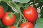 Сорт томата: Царевна f1