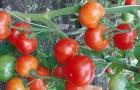 Сорт томата: Царскосельский