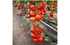Сорт томата: Цинто f1