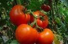 Сорт томата: Тамань f1