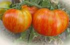 Сорт томата: Толстый боцман