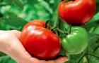 Сорт томата: Толстый карлсон f1