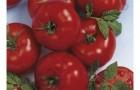 Сорт томата: Томалэнд f1