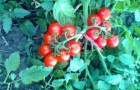 Сорт томата: Томито f1