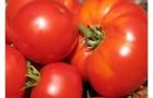 Сорт томата: Топ-модель