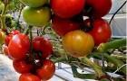 Сорт томата: Тореро f1