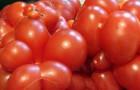 Сорт томата: Тотошка