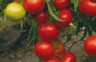 Сорт томата: Тривет f1