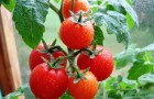 Уход и формирование плодов томата (Видно)