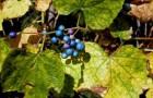 Виноградовник короткоцветоножковый, ампелопсис