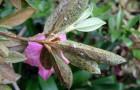 Вредитель декоративных кустарников — рододендроновый клоп