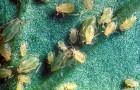 Вредитель луковичных — луковичная тля