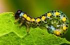 Вредители адаптируются к несъедобным растениям