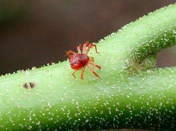 Вредители и болезни лиан: паутинный клещ