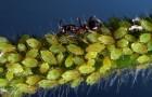 Вредители и болезни лиан: тля