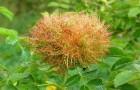 Вредители роз — розанные и толстостенные орехотворки