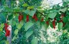 Выращивание лиан на гирлянде