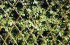 Выращивание лиан на изгородях-ширмах