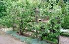 Выращивание лиан на трельяже