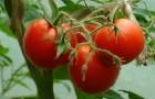 Включен в Госреестр по Российской Федерации для выращивания в открытом грунте и под пленочными укрытиями в ЛПХ. Салатный и для цельноплодного консервирования. Раннеспелый. Растение штамбовое детерминантное. Лист среднего размера, зеленый до темно-зеленого. Соцветие простое. Плодоножка с сочленением. Плод плоскоокруглый, среднеребристый. Окраска незрелого плода светло-зеленая, зрелого - красная. Число гнезд 4 и более. Масса плода 90 г. Вкус хороший. Урожайность товарных плодов 4,6 кг/кв.м. Устойчив к вершинной и корневой гнилям.