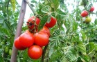 Сорт томата: Яхонт