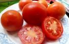 Сорт томата: Алабай f1