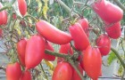 Сорт томата: Алая каравелла f1