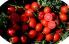 Сорт томата: Албаросса f1