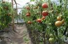Сорт томата: Алексеевна