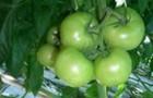 Сорт томата: Алькасар f1