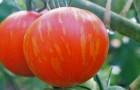 Сорт томата: Амазонка f1