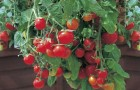 Сорт томата: Ампельный