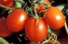 Сорт томата: Амур f1