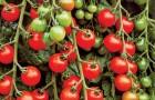 Сорт томата: Андрюшка f1